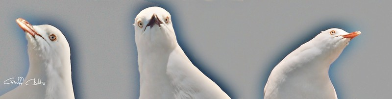 Curious Seagull.