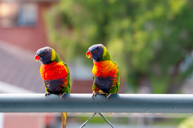 A colourful pair of vibrant Australian Rainbow Lorikeets on a balcony. Gosford Australia.