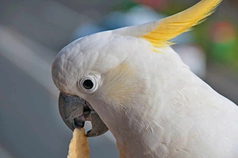 Australian Sulphur-crested Cockatoo close-up eating a cracker. Cacatua galerita.