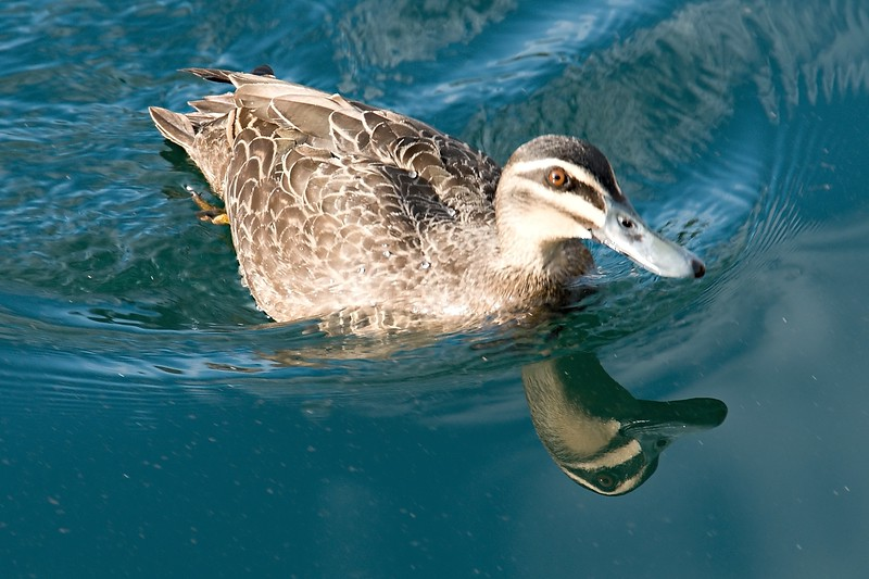 A Dabbling Duck Swimming with Water Reflections.
