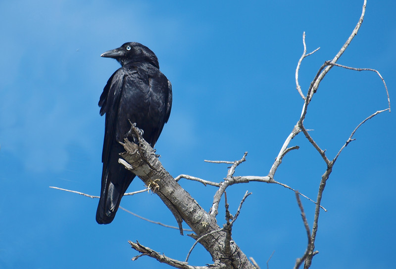 Australian Crow. Sometimes mistakenly refered to as a Raven, perched in a dead tree with a vivid blue sky backdrop. Fraser Island, Queensland, Australia.