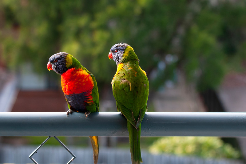 A Pair of multicoloured vibrant Rainbow Lorikeets in bright sunshine. Gosford, Australia