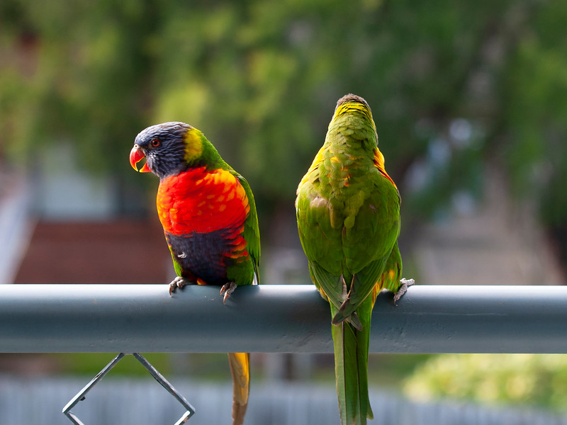 A colourful pair of vibrant Australian Rainbow Lorikeet closeup. Gosford .