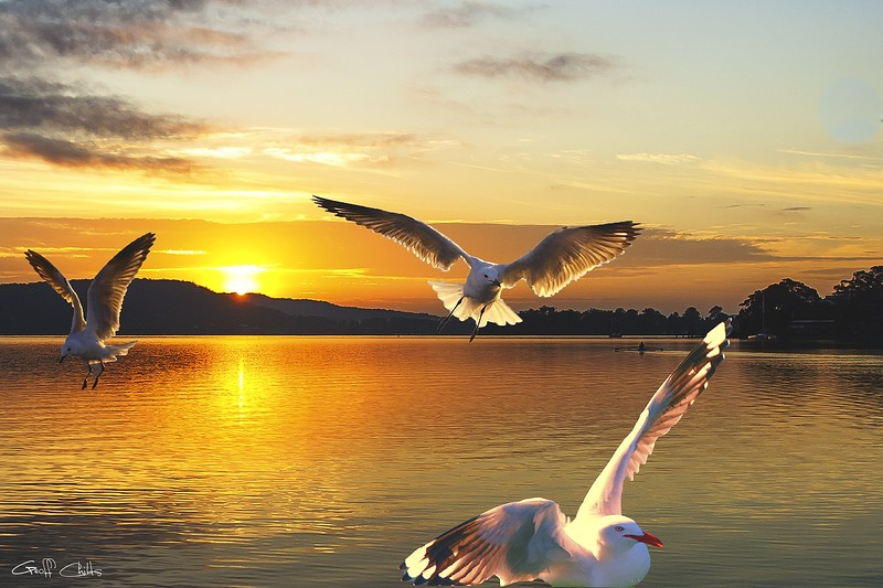 Seagulls at Sunrise... Exclusive Original stock Photo Art