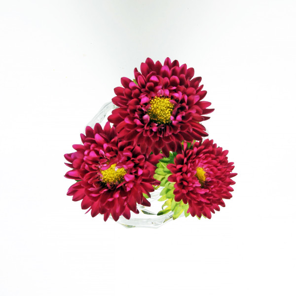 Three Red China Aster flowers closeup isolated on a white background.