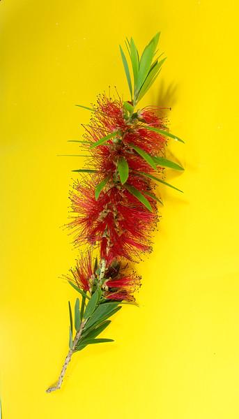 Isolated single flower stem macro image of the red Weeping Bottlebrush