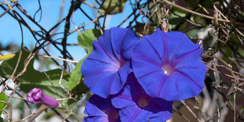 Purple Morning Glory, climbing flower.