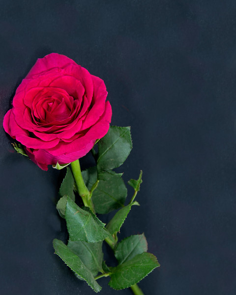 Red Rose flower with green leaves closeup isolated on a black background.