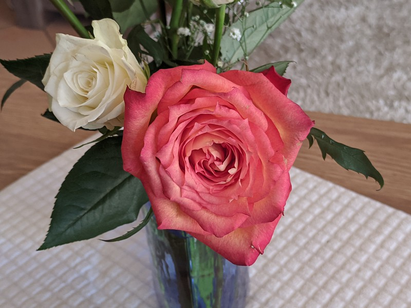 A Pretty pink and white cut Rose closeup in a valse on  white matting. Australia.