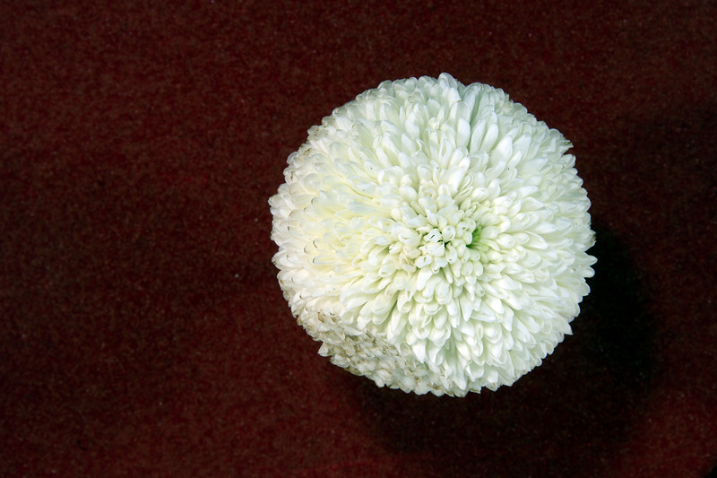 Pretty white Pom Pom Mums Chrysanthemum flower closeup.