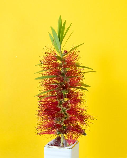 Single Red Bottlebrush flower isolated on yellow.