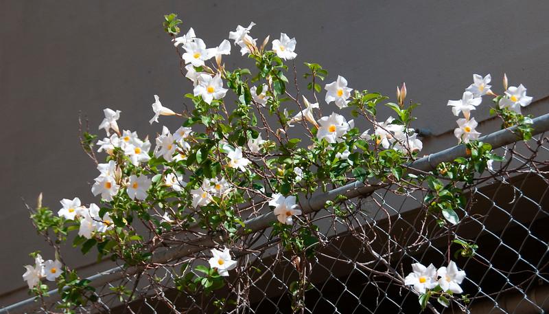 Pretty white Pandorea Lady Di flower closeup in full bloom. Australia.