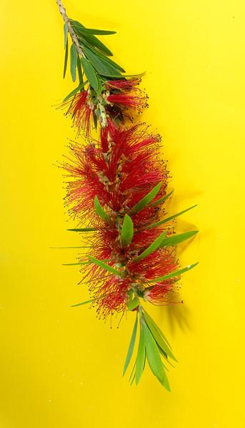 Single hanging flower stem of the red Bottlebrush.