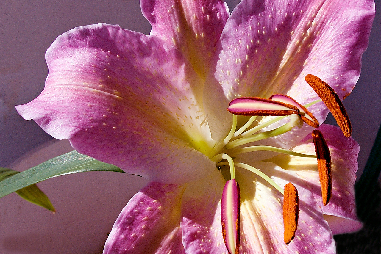 Lovely Lilium.Flower Art photo.