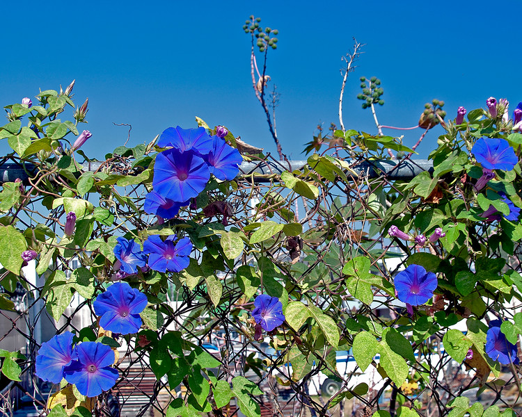Pretty Purple Morning Glory, climbing flower. closeup in full bloom. Australia.