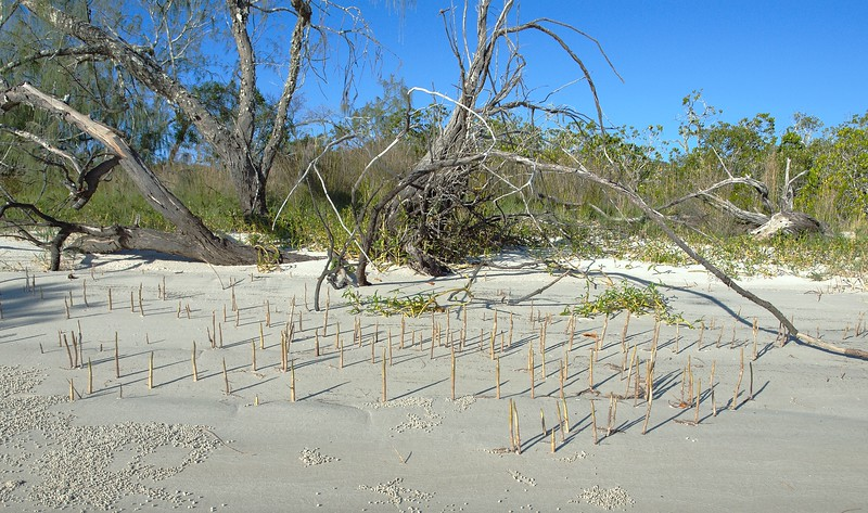Mangrove Shoots on Beach.
