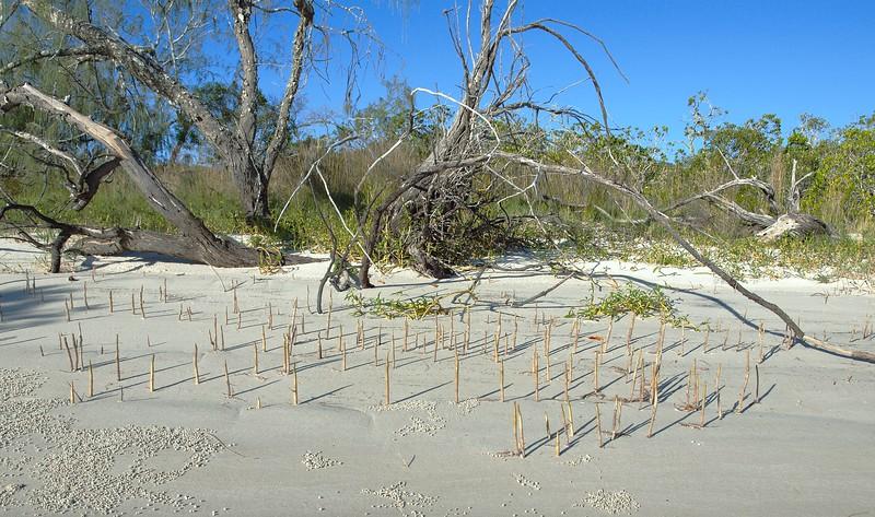 Mangrove Shoots on Beach.