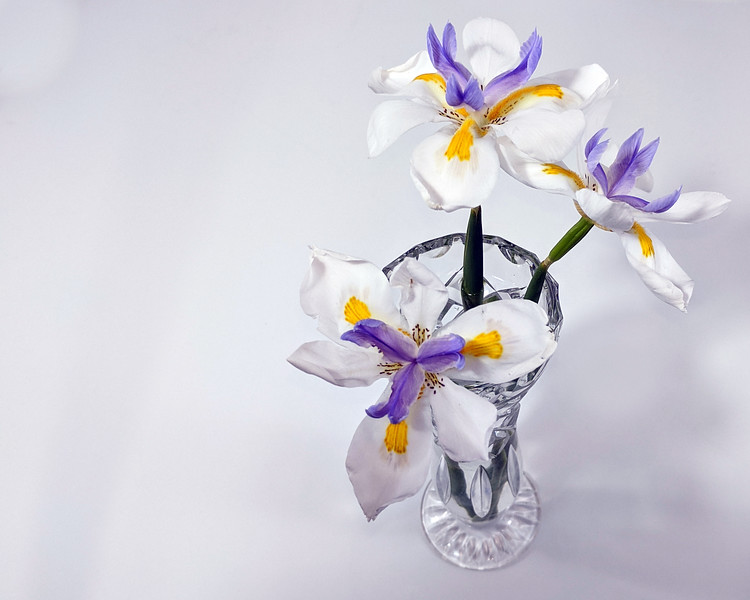 Wild Iris flowers closeup in glass vase isolated on a white background.