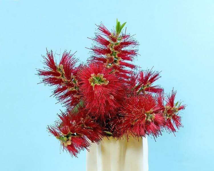 Red Bottlebrush flowering plant in a vase.