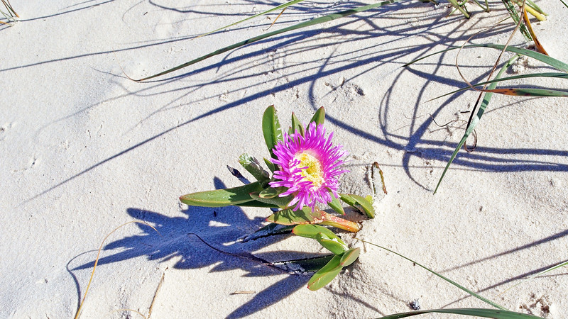 A solitary beautiful pink and yellow Pigface flower on a pristine white sandy tropical island beach.
