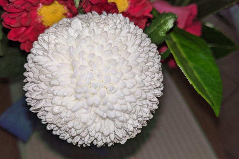 White Pom Pom Mums Chrysanthemum flower closeup.