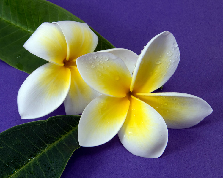 Pretty yellow and white Frangipani flower, Apocynaceae, isolated on a purple background.