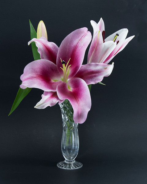 Flashpoint purple, pink and white Oriental Trumpet Lily in a crystal vase on black.