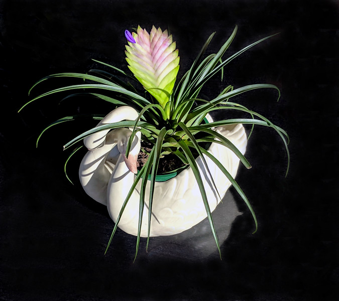 Pink Quill flower in a white swan shaped planter on a dark background.
