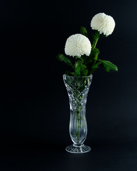 Two solitary pretty white Pom Pom Mums Chrysanthemum flowers in a crystal vase closeup on black background.