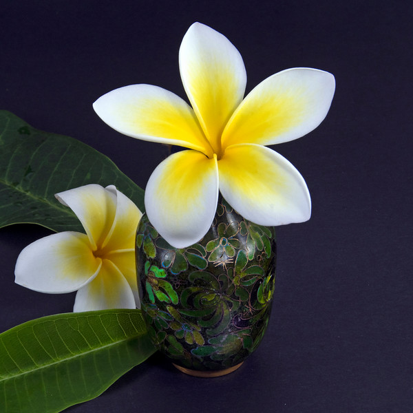 Colourful yellow and white Frangipani flower, Apocynaceae, closeup in a dark coloured decorative vase.