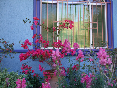 Bought this potted bouganvilla plant today and the cost for plant, pot & delivery to the house was $17.00  - I love Mexico
