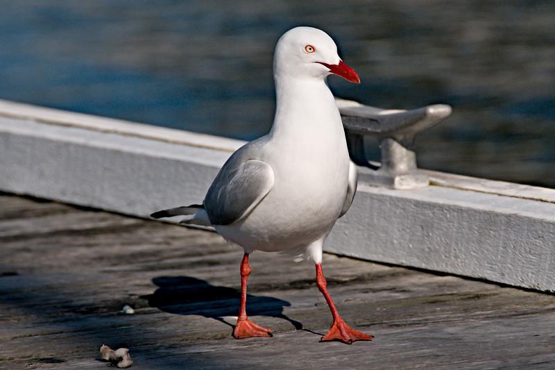 Seagul on a timber marina/dock closeup.