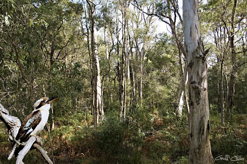 Kookaburra Amongst the Gum Trees.