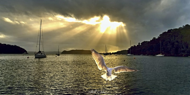 Seagull at Sunrise with Crepuscula Rays.