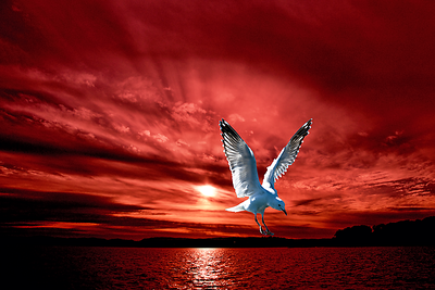 Silver Gull in Orange Red Ocean Sunrise.