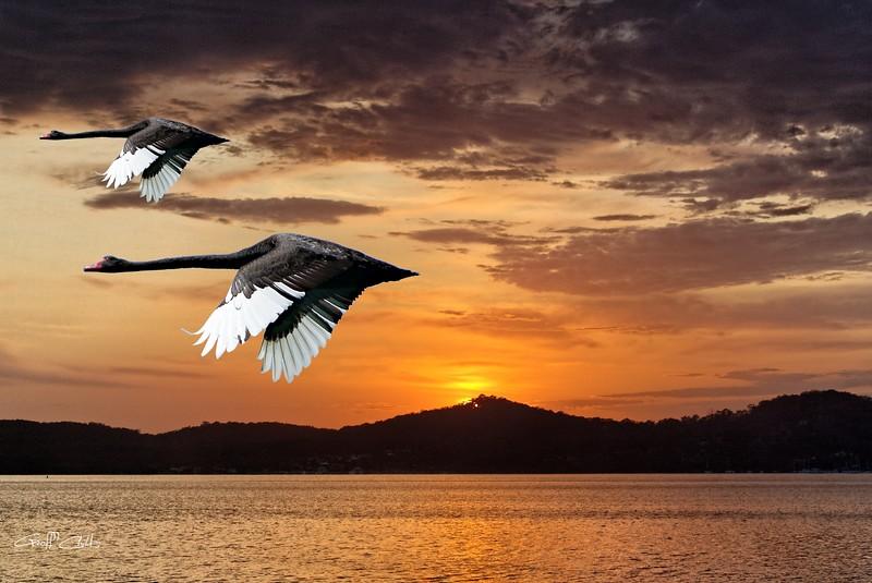 Two Swans at Dawn.  Art photo digital download and wallpaper screensaver. DIY Designer Print.