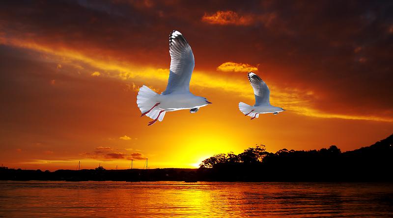 Golden Seagull Ocean Sunrise.
