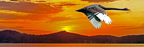Black Swan flying at Dawn. in Sunrise Gallery.