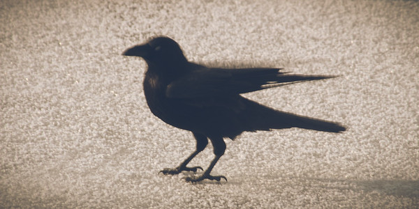 Winter with Ravens