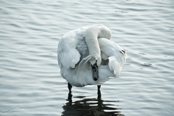 A swan cleaning its tail feathers.