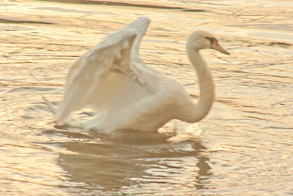 A swan stretches it's wings under the setting sun.