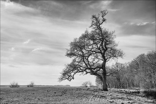 Lone tree in Dorset