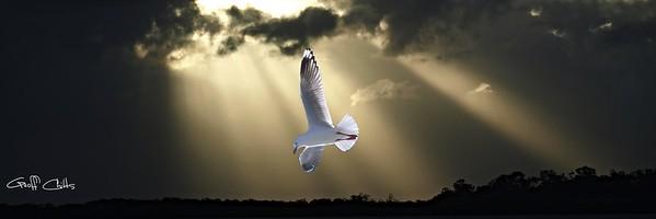 Seagull and Sunbeams 1-3.... in birds-coastal gallery