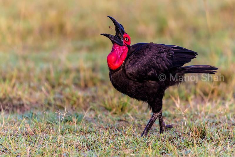 Ground hornbill swallowing insect after picking it up from the ground