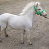 stallion_parade_022