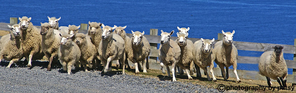 SHEEP ON THE RUN PANCARROW STATION near WELLINGTON, NEW ZEALAND
