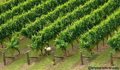 SHEEP in MISSION WINERY VINEYARD near NAPIER, NEW ZEALAND