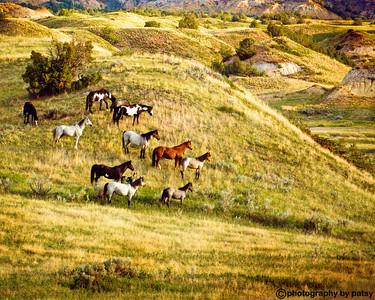 HERD of WILD HORSES in the valley THE BADLANDS - NORTH DAKOTA