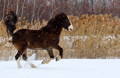st-amable horses-160227-FFF-1376-snow