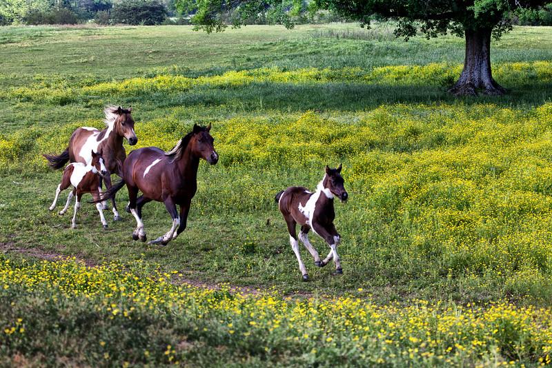Running Paint - Ouachitas of Arkansas